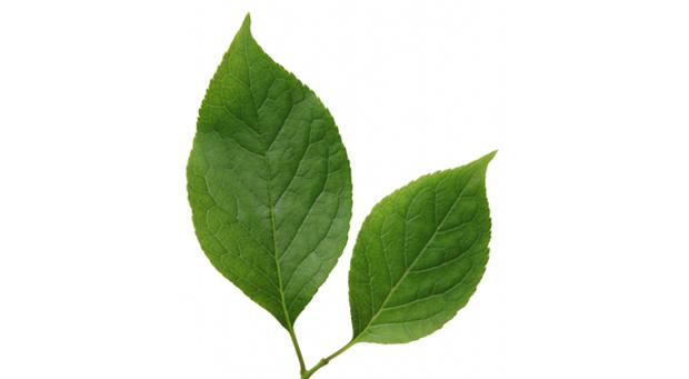 クヌギの葉