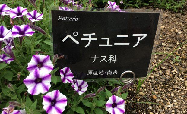 ペチュニア