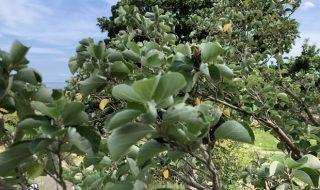 ハマボウ 葉