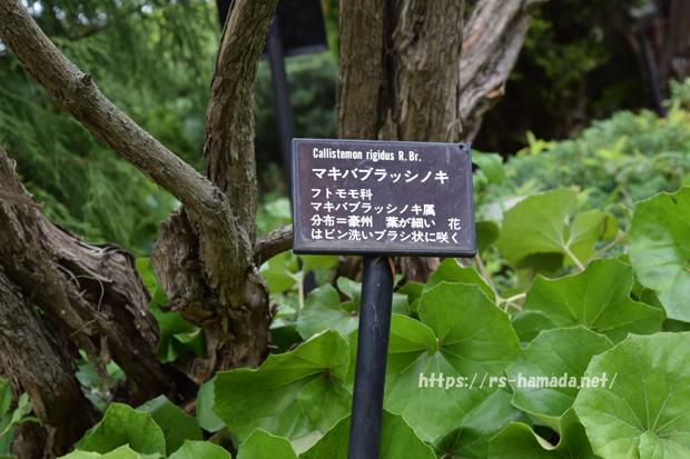 マキバブラッシノキ
