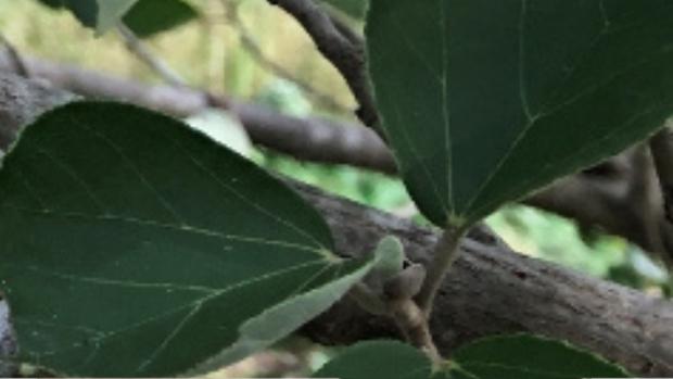 ハマボウの葉脈