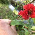 ボケの花の育て方 写真 由来 花言葉