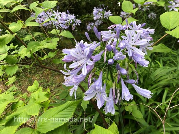 アガパンサスの花が咲かない