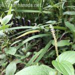 ハンゲショウ 花