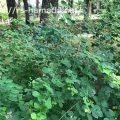 ヤマハギ 葉