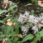 フジバカマの花の色