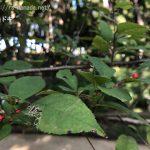 ウメモドキの葉