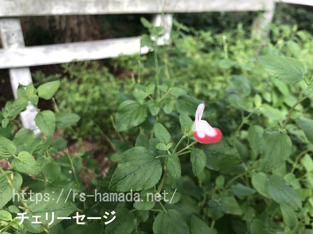 チェリーセージ 花が咲かない