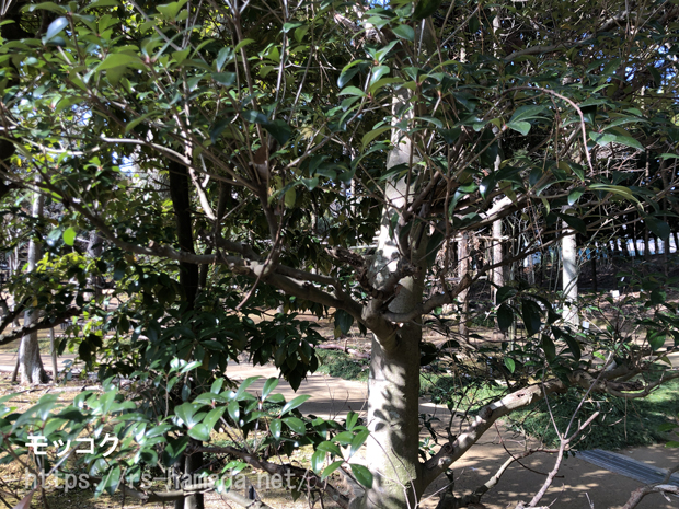 モッコクの木 枯れる