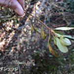 ドウダンツツジ 葉が茶色