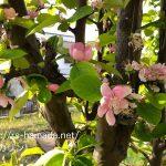 花梨の花の色