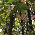 花梨の花 花言葉
