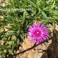 マツバギク 花が咲かない