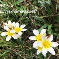 スパラキシスの花