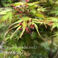 ヤマモミジ 花