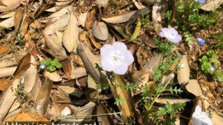 ネモフィラ(白色)