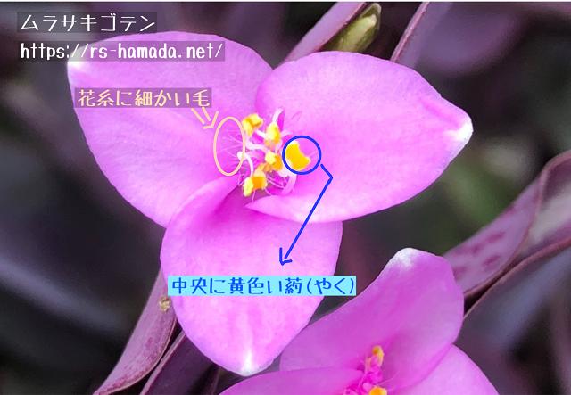 ムラサキゴテンの葯と花糸